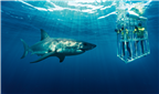 Great White shark swimming very close to a cage i...
