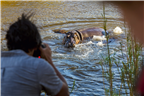 A man photographing a moving hippopotamus in the ...