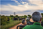 A herd of buffalo seen on a game drive in Kruger ...