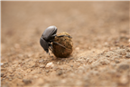Dung beetle rolling a ball of dung in Kruger Nati...