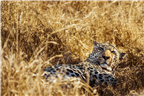 Close-up of a lazy leopard lying down in the long...
