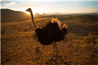 Ostrich standing on a hilltop at sunset in Oudtsh...