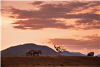 Two rhino and a game drive vehicle at sunset in K...