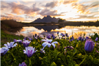 Purple daisies with a lake and mountains in the b...