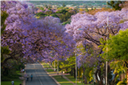 Overview of the jacaranda trees in bloom in the G...