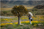 Woman inspecting the flowers of an Aloe tree in N...